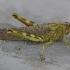 Egiptinis skėrys - Anacridium aegyptium | Fotografijos autorius : Deividas Makavičius | © Macrogamta.lt | Šis tinklapis priklauso bendruomenei kuri domisi makro fotografija ir fotografuoja gyvąjį makro pasaulį.
