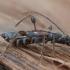 Eglinis laibūnas - Molorchus minor ♀ | Fotografijos autorius : Žilvinas Pūtys | © Macrogamta.lt | Šis tinklapis priklauso bendruomenei kuri domisi makro fotografija ir fotografuoja gyvąjį makro pasaulį.