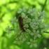 Eglinis rusvūnas - Obrium brunneum | Fotografijos autorius : Vitalii Alekseev | © Macrogamta.lt | Šis tinklapis priklauso bendruomenei kuri domisi makro fotografija ir fotografuoja gyvąjį makro pasaulį.