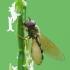 Entomophthora muscae | Fotografijos autorius : Vidas Brazauskas | © Macrogamta.lt | Šis tinklapis priklauso bendruomenei kuri domisi makro fotografija ir fotografuoja gyvąjį makro pasaulį.
