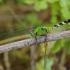 Erythemis simplicicollis, patelė (♀) | Fotografijos autorius : Deividas Makavičius | © Macrogamta.lt | Šis tinklapis priklauso bendruomenei kuri domisi makro fotografija ir fotografuoja gyvąjį makro pasaulį.