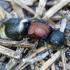 Europinė aksomvapsvė - Mutilla europaea ♀ | Fotografijos autorius : Romas Ferenca | © Macrogamta.lt | Šis tinklapis priklauso bendruomenei kuri domisi makro fotografija ir fotografuoja gyvąjį makro pasaulį.