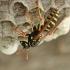 Europinė popiervapsvė - Polistes dominulus | Fotografijos autorius : Gintautas Steiblys | © Macrogamta.lt | Šis tinklapis priklauso bendruomenei kuri domisi makro fotografija ir fotografuoja gyvąjį makro pasaulį.