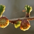 Europinis maumedis - Larix decidua | Fotografijos autorius : Agnė Našlėnienė | © Macrogamta.lt | Šis tinklapis priklauso bendruomenei kuri domisi makro fotografija ir fotografuoja gyvąjį makro pasaulį.