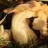 Garbanotoji alvytė - Helvella crispa | Fotografijos autorius : Ramunė Vakarė | © Macrogamta.lt | Šis tinklapis priklauso bendruomenei kuri domisi makro fotografija ir fotografuoja gyvąjį makro pasaulį.