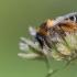 Gauruotakojė bitė - Dasypoda altercator  | Fotografijos autorius : Dalia Račkauskaitė | © Macrogamta.lt | Šis tinklapis priklauso bendruomenei kuri domisi makro fotografija ir fotografuoja gyvąjį makro pasaulį.