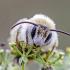 Gauruotakojė bitė - Dasypoda cf. altercator | Fotografijos autorius : Darius Baužys | © Macrogamta.lt | Šis tinklapis priklauso bendruomenei kuri domisi makro fotografija ir fotografuoja gyvąjį makro pasaulį.