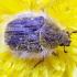 Gauruotasis auksavabalis - Tropinota hirta | Fotografijos autorius : Romas Ferenca | © Macrogamta.lt | Šis tinklapis priklauso bendruomenei kuri domisi makro fotografija ir fotografuoja gyvąjį makro pasaulį.