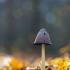 Gauruotasis mėšlagrybis - Coprinus comatus   Fotografijos autorius : Zita Gasiūnaitė   © Macrogamta.lt   Šis tinklapis priklauso bendruomenei kuri domisi makro fotografija ir fotografuoja gyvąjį makro pasaulį.
