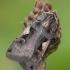 Gelsvadėmis dirvinukas - Xestia c-nigrum | Fotografijos autorius : Žilvinas Pūtys | © Macrogamta.lt | Šis tinklapis priklauso bendruomenei kuri domisi makro fotografija ir fotografuoja gyvąjį makro pasaulį.