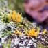 Tampriagrybis - Calocera sp. | Fotografijos autorius : Agnė Kulpytė | © Macrogamta.lt | Šis tinklapis priklauso bendruomenei kuri domisi makro fotografija ir fotografuoja gyvąjį makro pasaulį.
