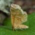Gelsvasis miškasprindis - Cepphis advenaria | Fotografijos autorius : Žilvinas Pūtys | © Macrogamta.lt | Šis tinklapis priklauso bendruomenei kuri domisi makro fotografija ir fotografuoja gyvąjį makro pasaulį.