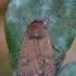 Gelsvataškis dirvinukas - Xestia xanthographa | Fotografijos autorius : Arūnas Eismantas | © Macrogamta.lt | Šis tinklapis priklauso bendruomenei kuri domisi makro fotografija ir fotografuoja gyvąjį makro pasaulį.