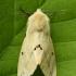 Gelsvoji meškutė - Spilosoma lutea | Fotografijos autorius : Vidas Brazauskas | © Macrogamta.lt | Šis tinklapis priklauso bendruomenei kuri domisi makro fotografija ir fotografuoja gyvąjį makro pasaulį.
