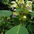 Geltonžiedė aklė - Galeopsis speciosa | Fotografijos autorius : Kęstutis Obelevičius | © Macrogamta.lt | Šis tinklapis priklauso bendruomenei kuri domisi makro fotografija ir fotografuoja gyvąjį makro pasaulį.