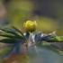 Geltonžiedė plukė - Anemone ranunculoides | Fotografijos autorius : Agnė Našlėnienė | © Macrogamta.lt | Šis tinklapis priklauso bendruomenei kuri domisi makro fotografija ir fotografuoja gyvąjį makro pasaulį.
