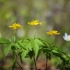 Geltonžiedė plukė - Anemone ranunculoides | Fotografijos autorius : Vidas Brazauskas | © Macrogamta.lt | Šis tinklapis priklauso bendruomenei kuri domisi makro fotografija ir fotografuoja gyvąjį makro pasaulį.