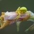 Geltonasis žiedvoris - Misumena vatia | Fotografijos autorius : Žilvinas Pūtys | © Macrogamta.lt | Šis tinklapis priklauso bendruomenei kuri domisi makro fotografija ir fotografuoja gyvąjį makro pasaulį.
