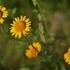 Geltonasis bobramunis - Anthemis tinctoria | Fotografijos autorius : Kęstutis Obelevičius | © Macrogamta.lt | Šis tinklapis priklauso bendruomenei kuri domisi makro fotografija ir fotografuoja gyvąjį makro pasaulį.