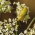 Geltonasis dulkiagraužis – Cteniopus sulphureus | Fotografijos autorius : Giedrius Markevičius | © Macrogamta.lt | Šis tinklapis priklauso bendruomenei kuri domisi makro fotografija ir fotografuoja gyvąjį makro pasaulį.