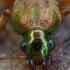 Geltonkojis žalsvažygis - Chlaeniellus nitidulus | Fotografijos autorius : Žilvinas Pūtys | © Macrogamta.lt | Šis tinklapis priklauso bendruomenei kuri domisi makro fotografija ir fotografuoja gyvąjį makro pasaulį.
