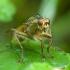 Geltonoji mėšlamusė - Scathophaga stercoraria | Fotografijos autorius : Žilvinas Pūtys | © Macrogamta.lt | Šis tinklapis priklauso bendruomenei kuri domisi makro fotografija ir fotografuoja gyvąjį makro pasaulį.