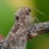 Geltonsparnis pelėdgalvis - Thalpophila matura | Fotografijos autorius : Arūnas Eismantas | © Macrogamta.lt | Šis tinklapis priklauso bendruomenei kuri domisi makro fotografija ir fotografuoja gyvąjį makro pasaulį.