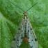 Germaninė skorpionmusė - Panorpa germanica ♂ | Fotografijos autorius : Žilvinas Pūtys | © Macrogamta.lt | Šis tinklapis priklauso bendruomenei kuri domisi makro fotografija ir fotografuoja gyvąjį makro pasaulį.