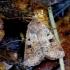 Girinis dirvinukas - Diarsia mendica | Fotografijos autorius : Romas Ferenca | © Macrogamta.lt | Šis tinklapis priklauso bendruomenei kuri domisi makro fotografija ir fotografuoja gyvąjį makro pasaulį.