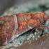 Gluosninis žieminukas - Scoliopteryx libatrix | Fotografijos autorius : Gintautas Steiblys | © Macrogamta.lt | Šis tinklapis priklauso bendruomenei kuri domisi makro fotografija ir fotografuoja gyvąjį makro pasaulį.