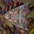 Gluosninis žieminukas - Scoliopteryx libatrix | Fotografijos autorius : Žilvinas Pūtys | © Macrogamta.lt | Šis tinklapis priklauso bendruomenei kuri domisi makro fotografija ir fotografuoja gyvąjį makro pasaulį.