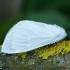 Gluosninis baltasis verpikas - Leucoma salicis | Fotografijos autorius : Žilvinas Pūtys | © Macrogamta.lt | Šis tinklapis priklauso bendruomenei kuri domisi makro fotografija ir fotografuoja gyvąjį makro pasaulį.