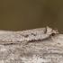Gluosninis dėmėtasis agonopteriksas - Agonopterix ocellana | Fotografijos autorius : Žilvinas Pūtys | © Macrogamta.lt | Šis tinklapis priklauso bendruomenei kuri domisi makro fotografija ir fotografuoja gyvąjį makro pasaulį.