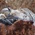 Gluosninis medgręžis - Cossus cossus   Fotografijos autorius : Romas Ferenca   © Macrogamta.lt   Šis tinklapis priklauso bendruomenei kuri domisi makro fotografija ir fotografuoja gyvąjį makro pasaulį.