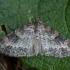 Gluosninis skiautenis - Pterapherapteryx sexalata | Fotografijos autorius : Žilvinas Pūtys | © Macrogamta.lt | Šis tinklapis priklauso bendruomenei kuri domisi makro fotografija ir fotografuoja gyvąjį makro pasaulį.