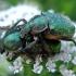 Gnorimus nobilis (Linnaeus, 1758) | Fotografijos autorius : Vitalii Alekseev | © Macrogamta.lt | Šis tinklapis priklauso bendruomenei kuri domisi makro fotografija ir fotografuoja gyvąjį makro pasaulį.