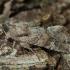 Grūdinis pelėdgalvis - Apamea sordens | Fotografijos autorius : Žilvinas Pūtys | © Macrogamta.lt | Šis tinklapis priklauso bendruomenei kuri domisi makro fotografija ir fotografuoja gyvąjį makro pasaulį.