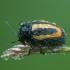 Graižinis paslėptagalvis - Cryptocephalus vittatus   Fotografijos autorius : Žilvinas Pūtys   © Macrogamta.lt   Šis tinklapis priklauso bendruomenei kuri domisi makro fotografija ir fotografuoja gyvąjį makro pasaulį.