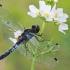 Grakščioji skėtė - Leucorrhinia caudalis, patelė | Fotografijos autorius : Gintautas Steiblys | © Macrogamta.lt | Šis tinklapis priklauso bendruomenei kuri domisi makro fotografija ir fotografuoja gyvąjį makro pasaulį.