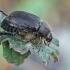Grambuoliukas - Anomala quadripunctata | Fotografijos autorius : Gintautas Steiblys | © Macrogamta.lt | Šis tinklapis priklauso bendruomenei kuri domisi makro fotografija ir fotografuoja gyvąjį makro pasaulį.