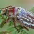 Grambuolys - Anoxia orientalis | Fotografijos autorius : Gintautas Steiblys | © Macrogamta.lt | Šis tinklapis priklauso bendruomenei kuri domisi makro fotografija ir fotografuoja gyvąjį makro pasaulį.