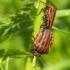 Skydblakė juostelinė (Graphosoma lineatum) | Fotografijos autorius : Aleksandras Naryškin | © Macrogamta.lt | Šis tinklapis priklauso bendruomenei kuri domisi makro fotografija ir fotografuoja gyvąjį makro pasaulį.