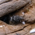 Gumburiuotasis straubliukas - Asperogronops inaequalis | Fotografijos autorius : Vitalii Alekseev | © Macrogamta.lt | Šis tinklapis priklauso bendruomenei kuri domisi makro fotografija ir fotografuoja gyvąjį makro pasaulį.