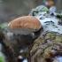 Beržinis pintenis - Fomitopsis betulina  | Fotografijos autorius : Vidas Brazauskas | © Macrogamta.lt | Šis tinklapis priklauso bendruomenei kuri domisi makro fotografija ir fotografuoja gyvąjį makro pasaulį.
