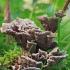 Žeminis karpininkas - Thelephora terrestris | Fotografijos autorius : Gintautas Steiblys | © Macrogamta.lt | Šis tinklapis priklauso bendruomenei kuri domisi makro fotografija ir fotografuoja gyvąjį makro pasaulį.