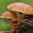 Gražioji skujagalvė - Pholiota flammans | Fotografijos autorius : Gintautas Steiblys | © Macrogamta.lt | Šis tinklapis priklauso bendruomenei kuri domisi makro fotografija ir fotografuoja gyvąjį makro pasaulį.