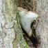 Kislioji skylėtbudė - Polyporus varius | Fotografijos autorius : Darius Baužys | © Macrogamta.lt | Šis tinklapis priklauso bendruomenei kuri domisi makro fotografija ir fotografuoja gyvąjį makro pasaulį.