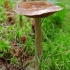 Nuosėdis - Cortinarius purpurascens   Fotografijos autorius : Gintautas Steiblys   © Macrogamta.lt   Šis tinklapis priklauso bendruomenei kuri domisi makro fotografija ir fotografuoja gyvąjį makro pasaulį.