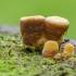Lygusis tigliagrybis - Crucibulum laeve | Fotografijos autorius : Darius Baužys | © Macrogamta.lt | Šis tinklapis priklauso bendruomenei kuri domisi makro fotografija ir fotografuoja gyvąjį makro pasaulį.