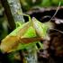 Gudobelinė skydblakė - Acanthosoma haemorrhoidale | Fotografijos autorius : Romas Ferenca | © Macrogamta.lt | Šis tinklapis priklauso bendruomenei kuri domisi makro fotografija ir fotografuoja gyvąjį makro pasaulį.